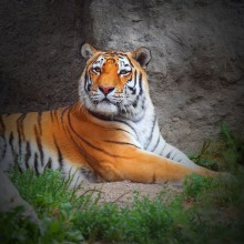Tiger in the Allwetterzoo Münster – discovered with HiVino