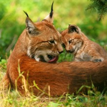 Discover lynx in their natural environment - Bavarian Forest