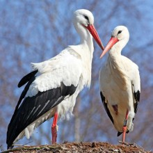 Discover Storks within their natural habitat - HiVino