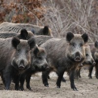 Visit boars in the Schwarzwaldpark - with HiVino