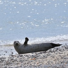 Discover seals in Schleswig- Holstein Wadden Sea National Park