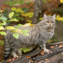 Discover wild cats in Hainich National Park with HiVino