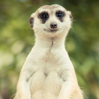 Attention, attention - a meerkat is watching you! - HiVino