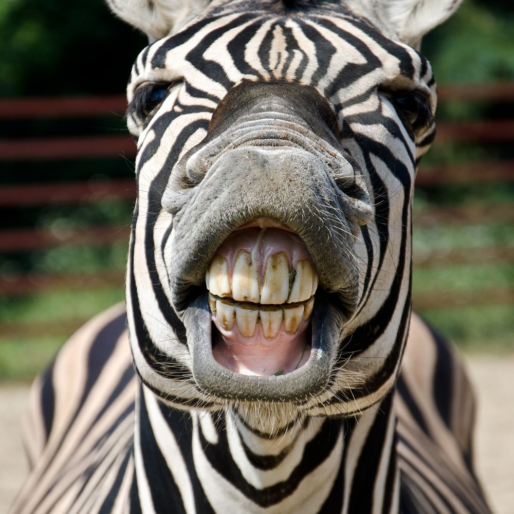 Zebra Laughing