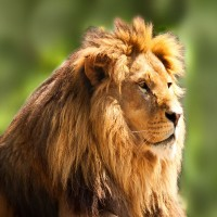 Lion in the Hannover Zoo - discovered with HiVino