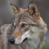 Wolf – discover the Eberswalde Zoo with HiVino