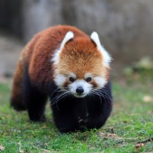 Red panda bear discovered with HiVino