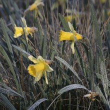 Wild narcissus in the national park Eifel discovered with HiVino