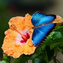 Blue butterfly at a flower – discovered with HiVino