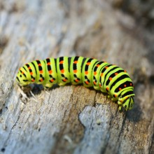 First caterpillar, then a beautiful butterfly – discovered by HiVino