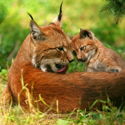 Bavarian Forest Lynx